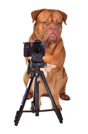 Dogue De Bordeaux Fotograf mit Kamera, studio shot