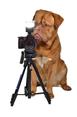 dogue de bordeaux: Photographer dog with camera, isolated
