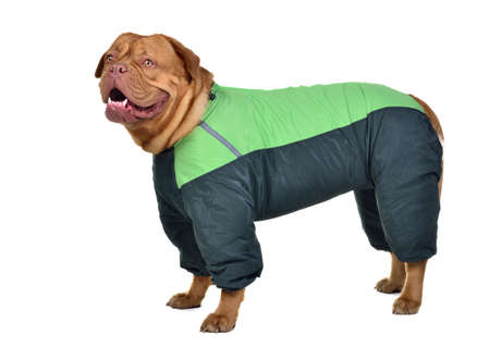 molosse: Dog dressed with green raincoat against white background
