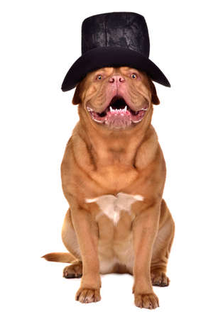 Gentleman dog wearing old-fashioned black hat photo