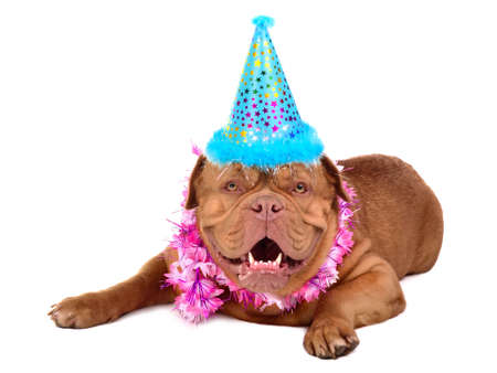 French Mastiff puppy with in party cone, isolated photo