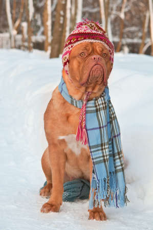 dogue de bordeaux: Funny dog wearing winter clothing Stock Photo