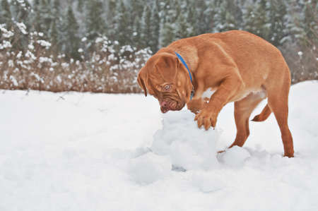 dogue de bordeaux: French Mastiff puppy playing with snow ball