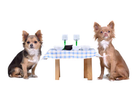 dog food: Chihuahua dogs enjoying their meal