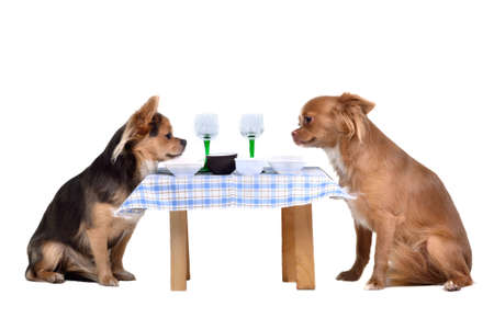 Two chihuahua dogs at the table, isolated on white background