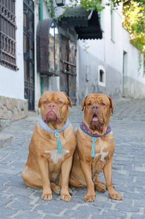 Two dogues de bordeaux sitting on the street photo