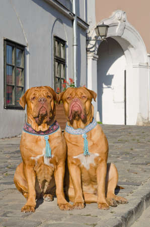 Two dogs de bordeaux sitting on a sidewalk photo
