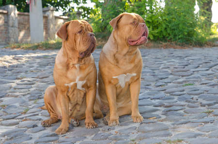 Two dogs de bordeaux sitting on a cobbled street photo