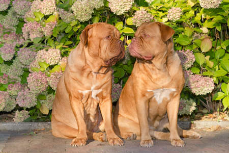 Two dogues de bordeaux sitting in front of flowers in the garden photo