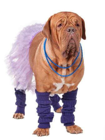 Big dogue de bordeaux dressed like ballerina isolated on white Stock Photo - 11550618