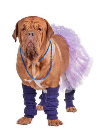 leg warmers: Dogue de boredaux dressed with skirt and leg warmers