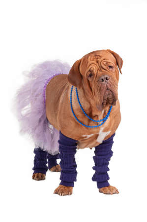Funny looking french mastiff dressed like ballerina photo
