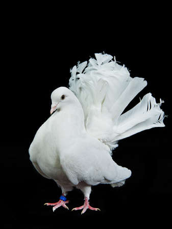 white pigeon: Beautiful white decorative dove, isolated ob white background