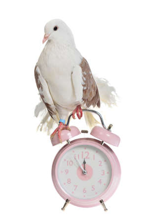 cuckoo: Decorative dove sits on old styled alarm-clock, isolated
