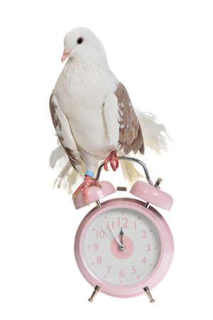 reloj cucu: Paloma decorativo se sienta en estilo antiguo reloj despertador, aislado