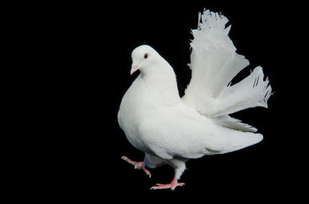 white pigeon: Beautiful white dove walking against black background