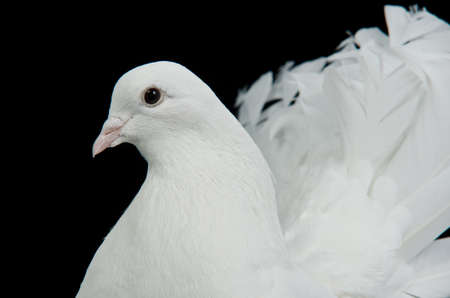 White decorative dove portrait against black background photo