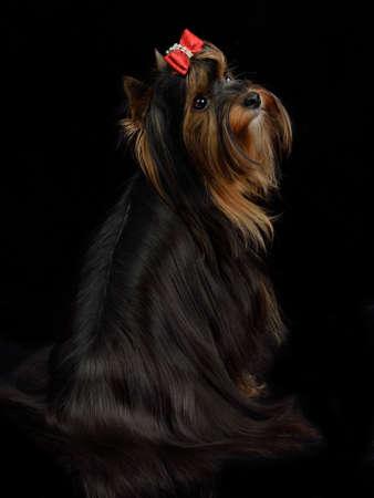 silky terrier: Yorkshire terrier seduto su sfondo nero Archivio Fotografico