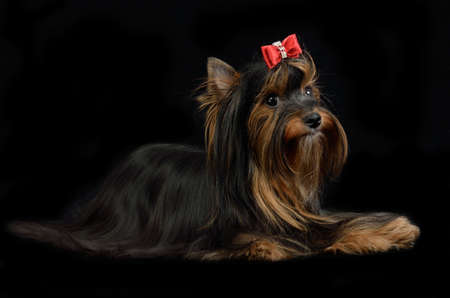 silky terrier: Yorkshire terrier lying against black bqackground Stock Photo