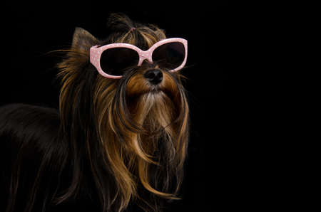 Yorkie with pink sun glasses against black background photo