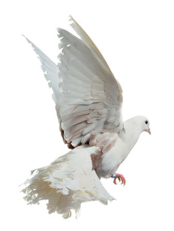 White dove flying high, isolated on white background photo