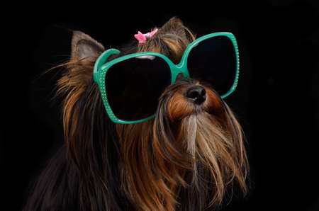 yorkie: Dog with sun glasses against black background Stock Photo