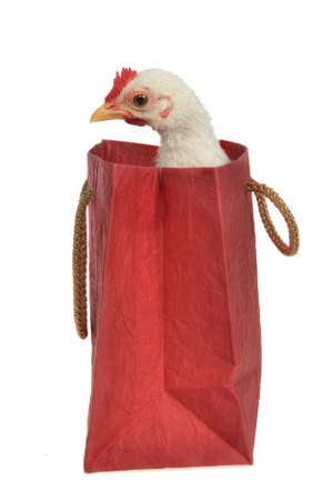Little chicken sitting inside the shopping bag, isolated photo
