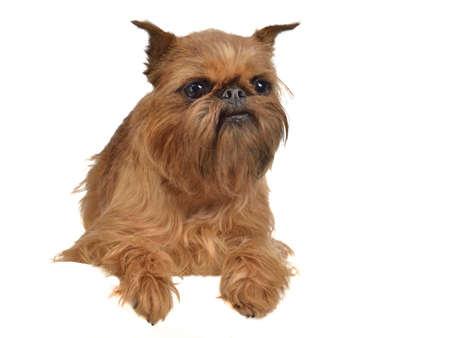 griffon bruxellois: Lying griffon dog above white banner isolated