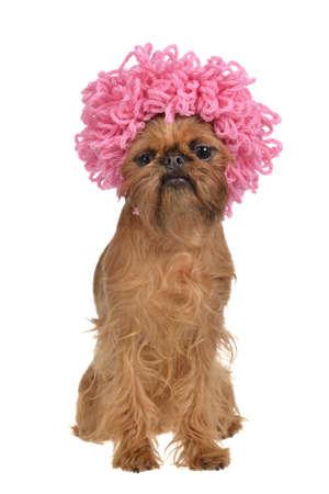 perros vestidos: Lindo perro leonado con peluca rizada de color rosa, aisladas sobre fondo blanco