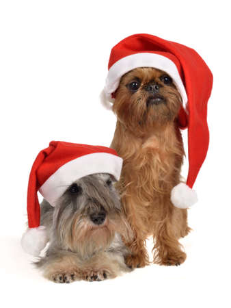 Bearded Santa dogs with red hats, isolated on white background photo