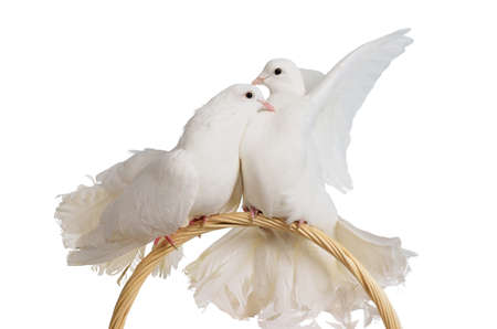 Two white doves kissing and huggung isolated Stock Photo