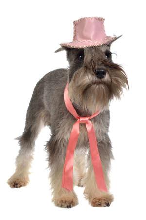 perros vestidos: Zwergschnauzer barbudo con el sombrero de color rosa y corbata, aislado Foto de archivo