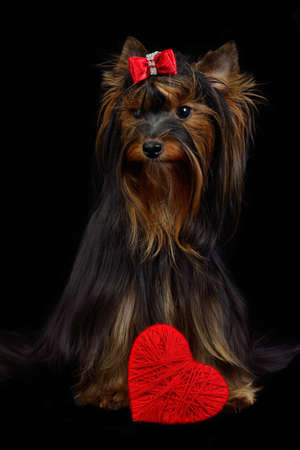Loving Yorky dog with red heart isolated on black photo