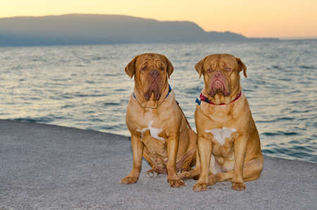Two Dogues de Bordeaux are sitting on sunset pier photo