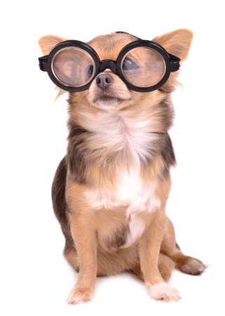 diopter: Cute chihuahua con lentes de alta dioptr�a de espesor, aisladas sobre fondo blanco