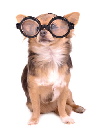 Cute chihuahua puppy with high diopter thick glasses, isolated on white background photo