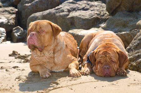bordeaux mastiff: Two dogs (french mastiff) lying on the sand Stock Photo