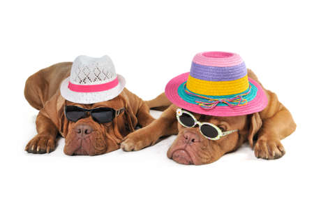 dogue de bordeaux: Two Dog in Beach Hats enjoying the Sunshine Stock Photo