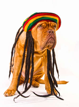 Funny Dog in Rastafarian Hat with Dreadlocks photo