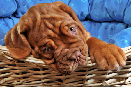 animal sad face: Lovely Puppy lying in cot with thick paw Stock Photo