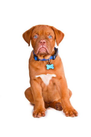 bordeaux dog: Obedient Blue-eyed Puppy with a Name Tag