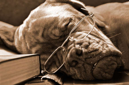 dogue de bordeaux: Smart Dog in Glasses Sleeping in Books in Sepia Tone