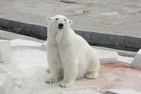 carnivorous: Polar white bear sitting Stock Photo