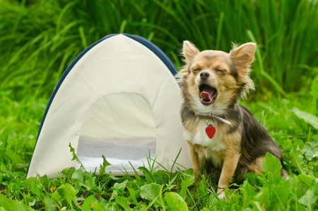 日当たりの良い牧草地でキャンプ テントのそばに座ってあくびのチワワ犬 写真素材