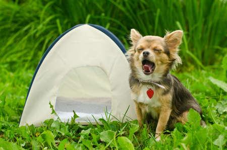 obóz: Ziewanie pies chihuahua siedzi w pobliżu camping namiot na słonecznej łące Zdjęcie Seryjne