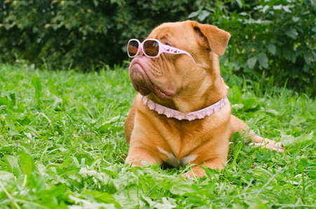 dogue de bordeaux: Serious dog of Dogue De Bordeaux breed wearing pink glasses and collar, lying in the summer garden Stock Photo