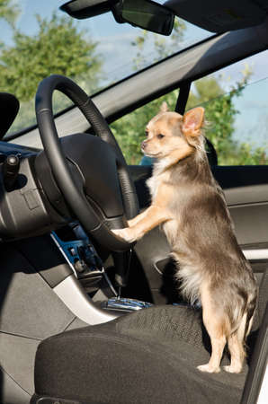 big wheel: Chihuahua driver dog with paws on steering wheel of a car