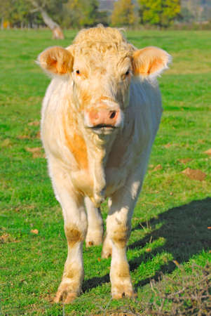 Beige cow standing in a field, France photo