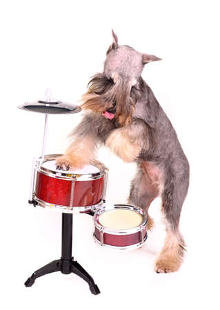 Drummer dog, isolated on white background photo