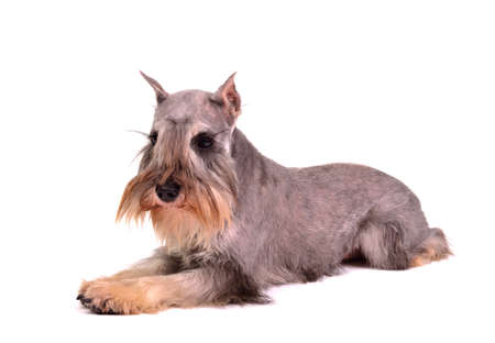 Zwergschnauzer lying, against white background Stock Photo